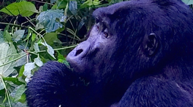 Gorilla Trekking in the Bwindi Impenetrable Forest
